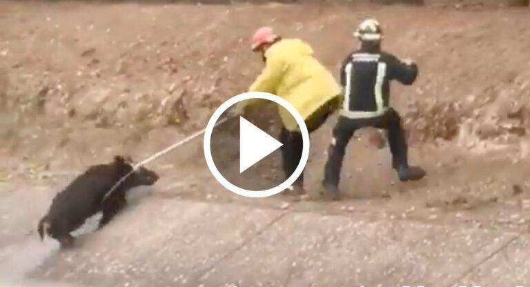 Bomberos albacete rescatan jabalí