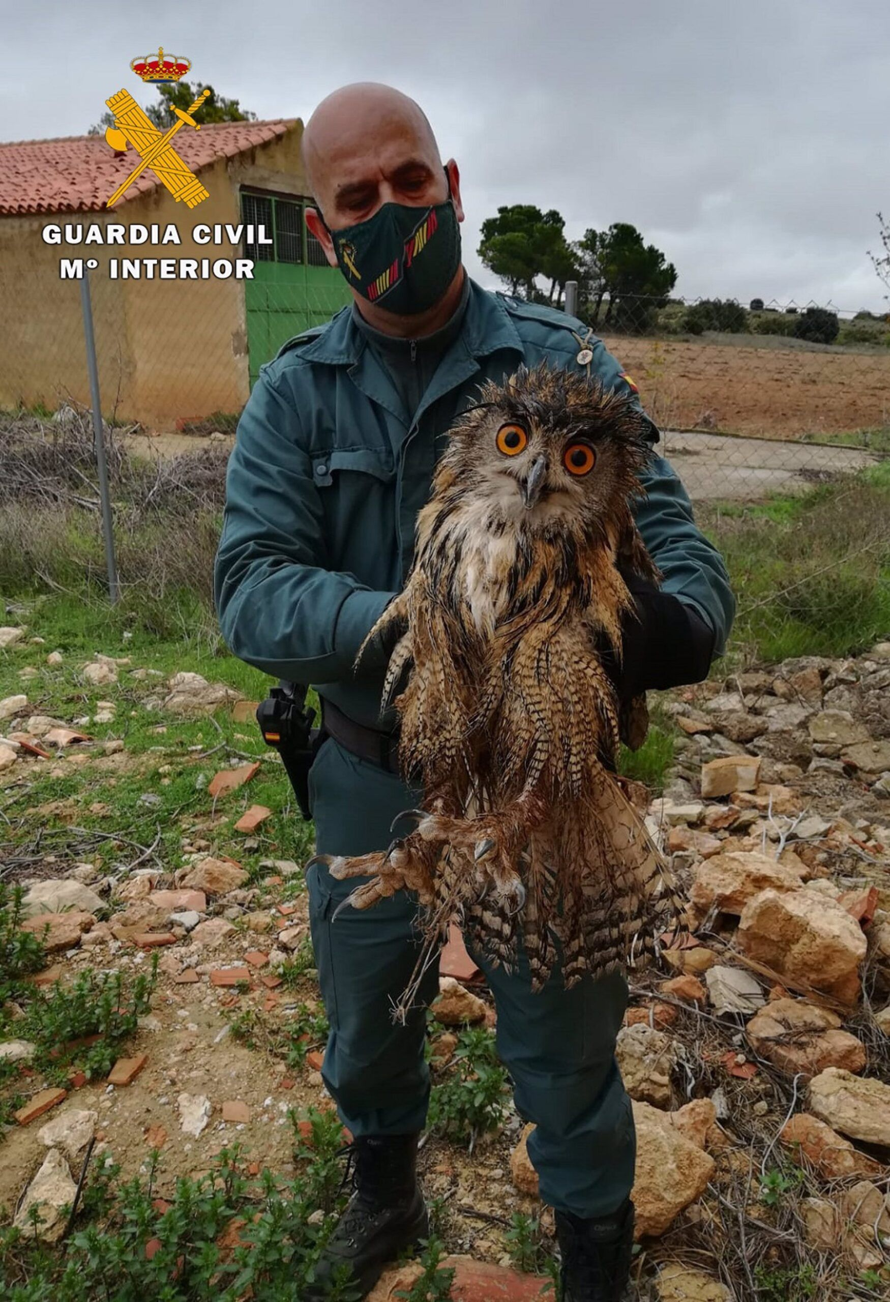 Buho real en Almansa | Guardia Civil