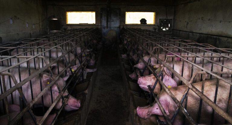 Montealegre del Castillo rechaza la macrogranja de cerdos de Cefusa-El Pozo